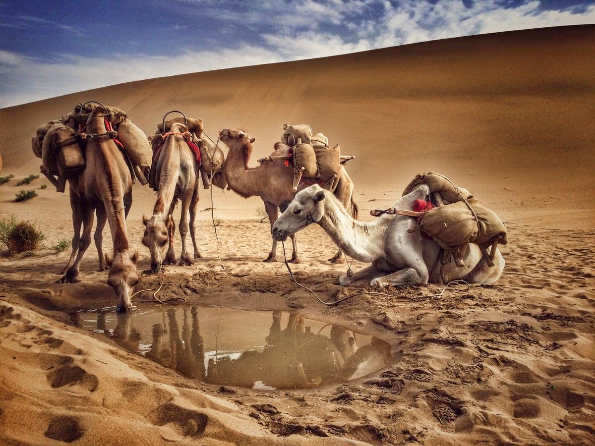 敦煌,沙漠骆驼